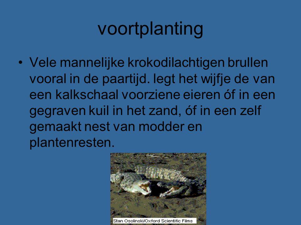 voortplanting Vele mannelijke krokodilachtigen brullen vooral in de paartijd. legt het wijfje de van een kalkschaal voorziene eieren óf in een gegrave