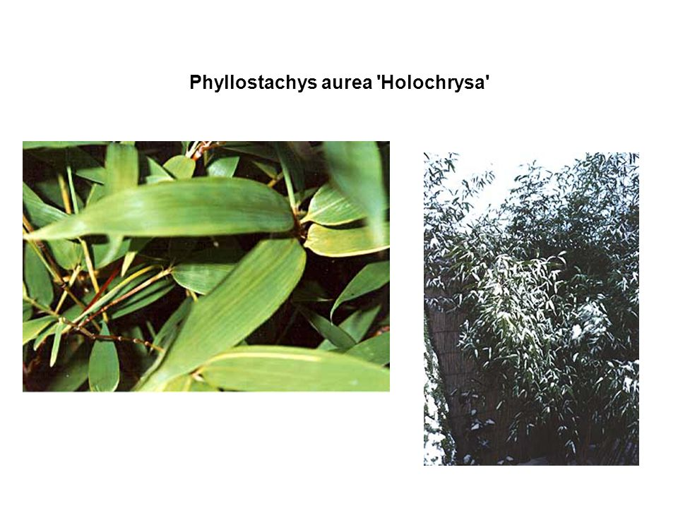 Phyllostachys aurea Holochrysa