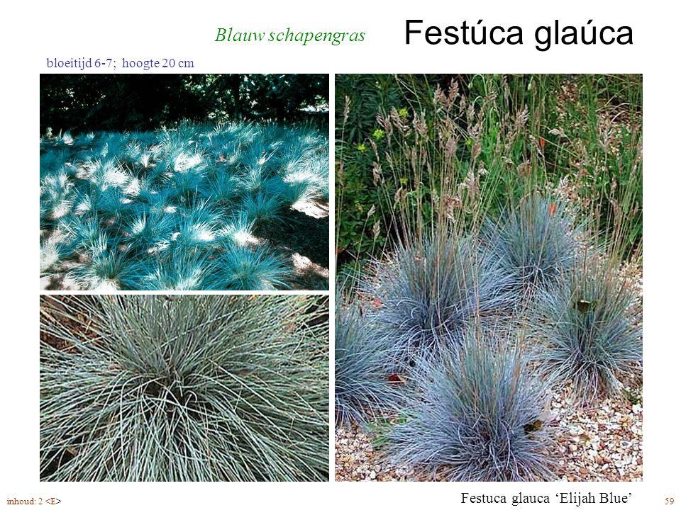 Festúca glaúca inhoud: 2 59 bloeitijd 6-7; hoogte 20 cm Blauw schapengras Festuca glauca 'Elijah Blue'