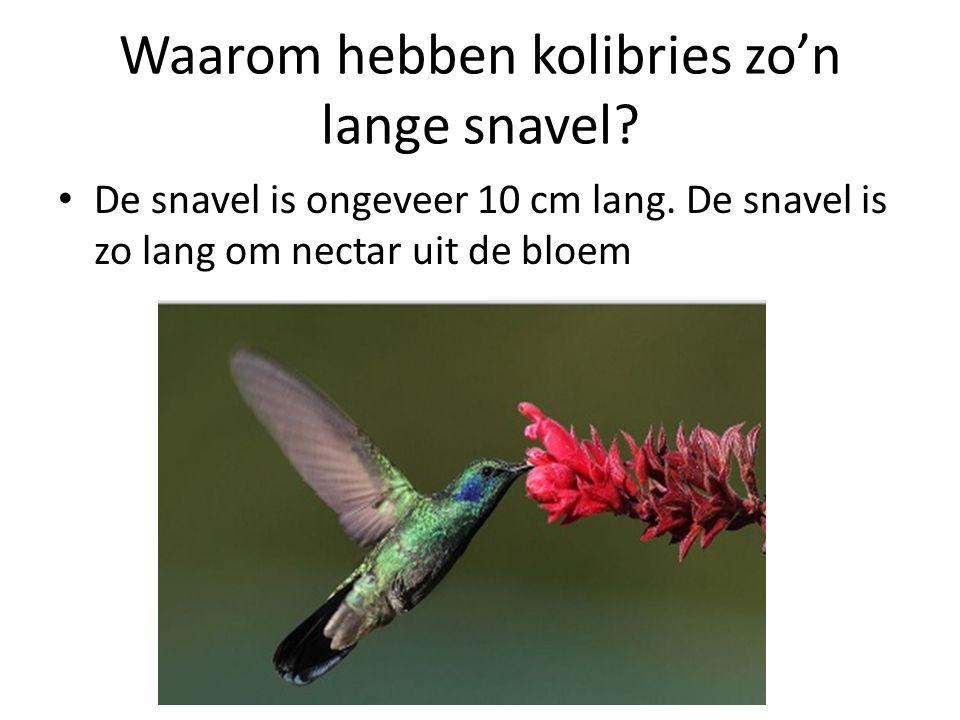 Waarom hebben kolibries zo'n lange snavel? De snavel is ongeveer 10 cm lang. De snavel is zo lang om nectar uit de bloem