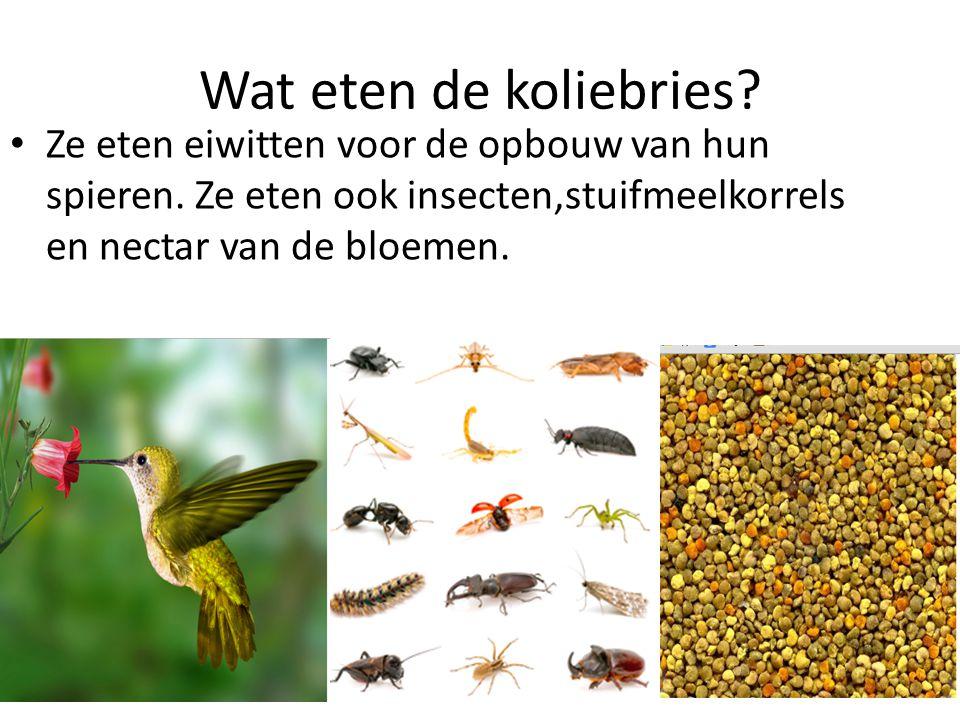 Wat eten de koliebries? Ze eten eiwitten voor de opbouw van hun spieren. Ze eten ook insecten,stuifmeelkorrels en nectar van de bloemen.