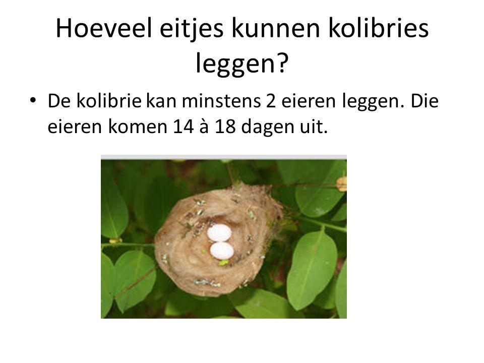 Hoeveel eitjes kunnen kolibries leggen? De kolibrie kan minstens 2 eieren leggen. Die eieren komen 14 à 18 dagen uit.