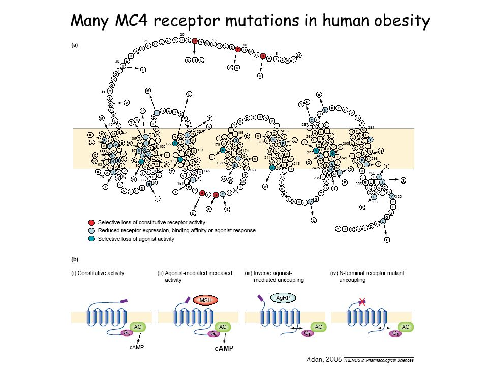 Many MC4 receptor mutations in human obesity Adan, 2006