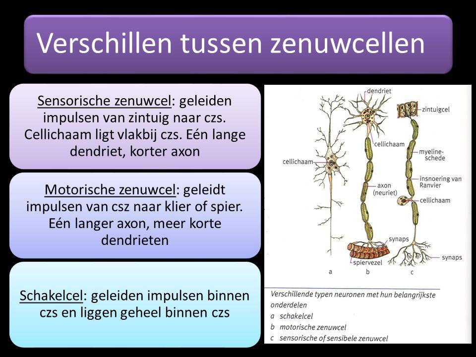 Verschillen tussen zenuwcellen Sensorische zenuwcel: geleiden impulsen van zintuig naar czs. Cellichaam ligt vlakbij czs. Eén lange dendriet, korter a