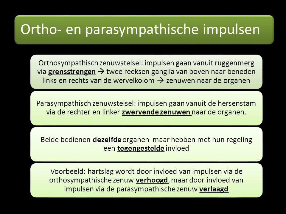 Ortho- en parasympathische impulsen Orthosympathisch zenuwstelsel: impulsen gaan vanuit ruggenmerg via grensstrengen  twee reeksen ganglia van boven