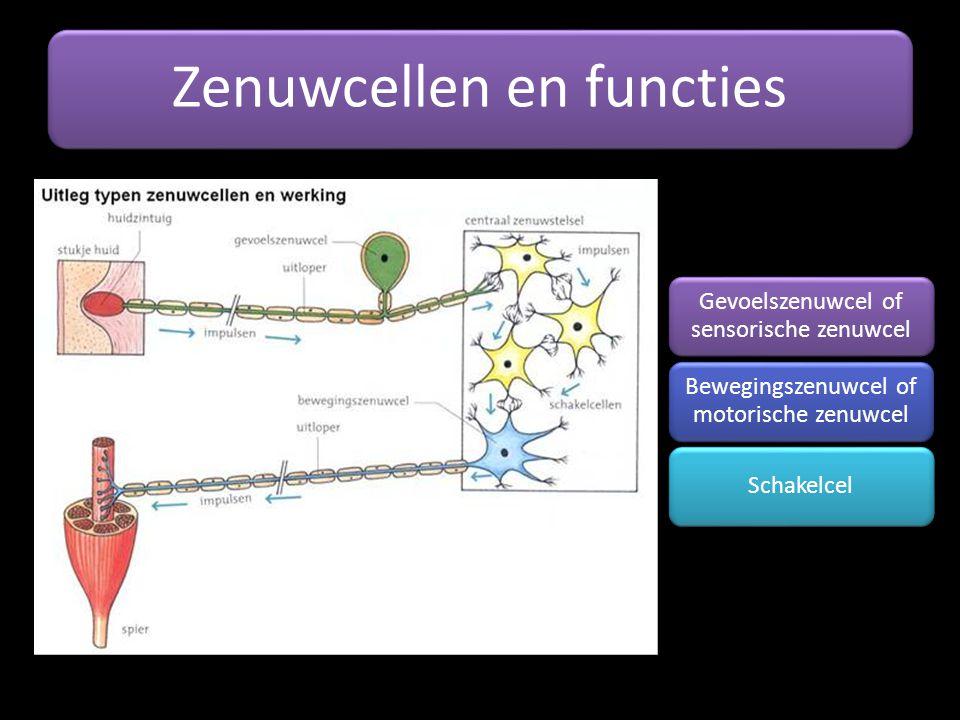 Zenuwcellen en functies Gevoelszenuwcel of sensorische zenuwcel Bewegingszenuwcel of motorische zenuwcel Schakelcel