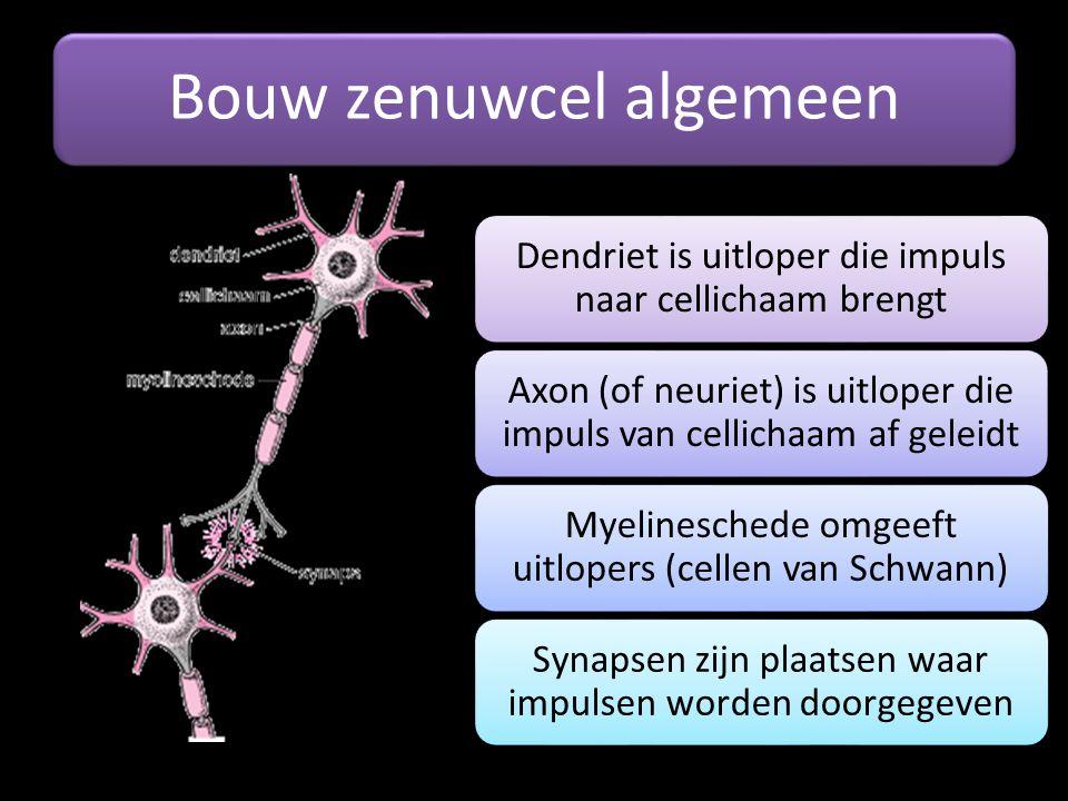 Bouw zenuwcel algemeen Dendriet is uitloper die impuls naar cellichaam brengt Axon (of neuriet) is uitloper die impuls van cellichaam af geleidt Myeli