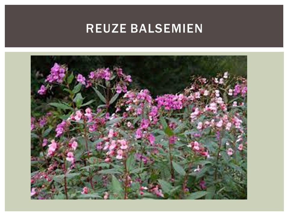 REUZE BALSEMIEN