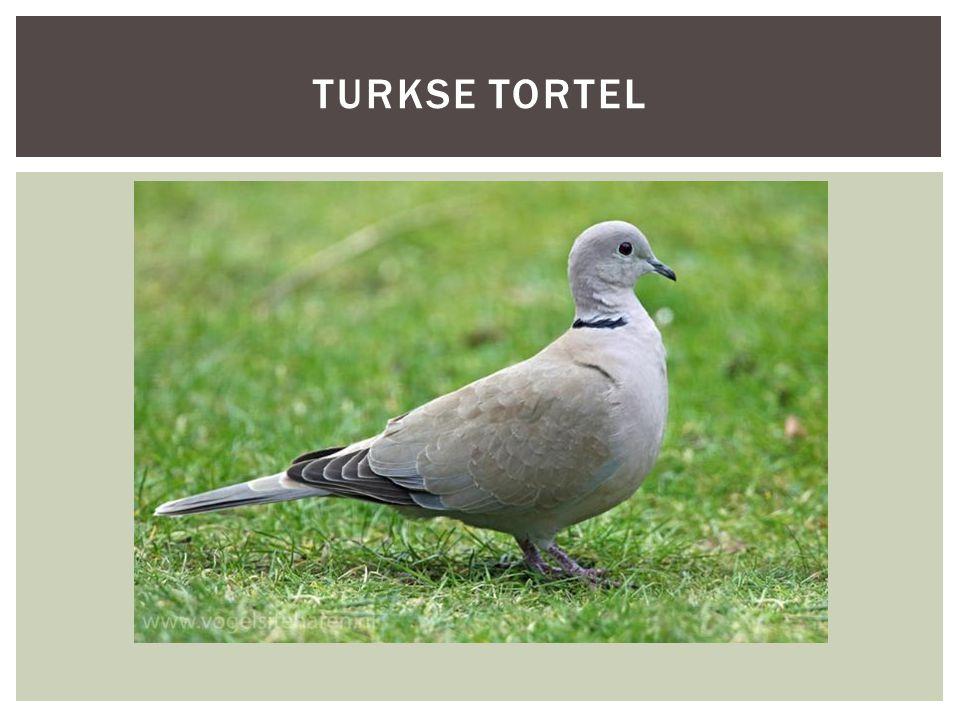 TURKSE TORTEL