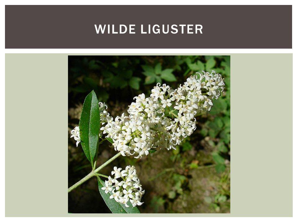 WILDE LIGUSTER