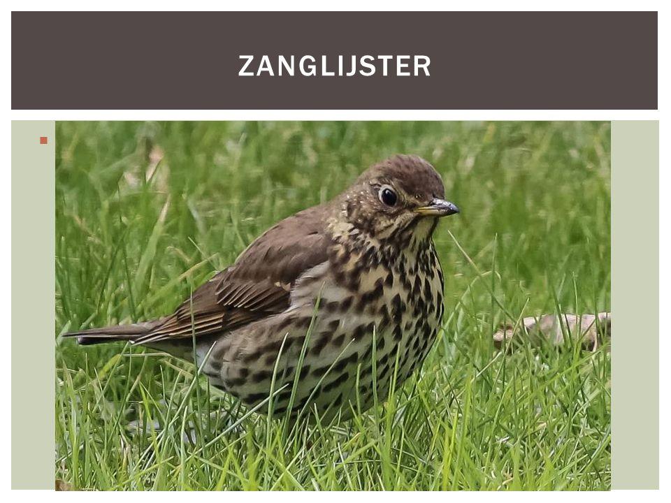  HOOFDFOTO ZANGLIJSTER