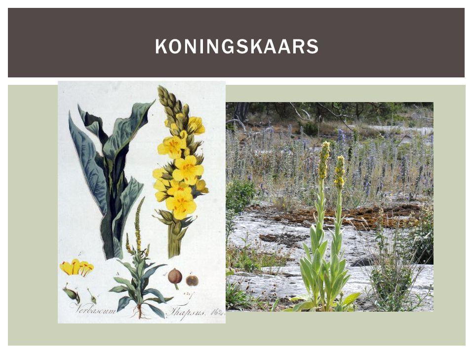 Soortgroephelmkruidfamilie Hoofd-biotoopduin- en krijtgebied Uiterlijke kenmerkenDe bloemen zijn geel en hebben een doorsnede van 1,5-3 cm.