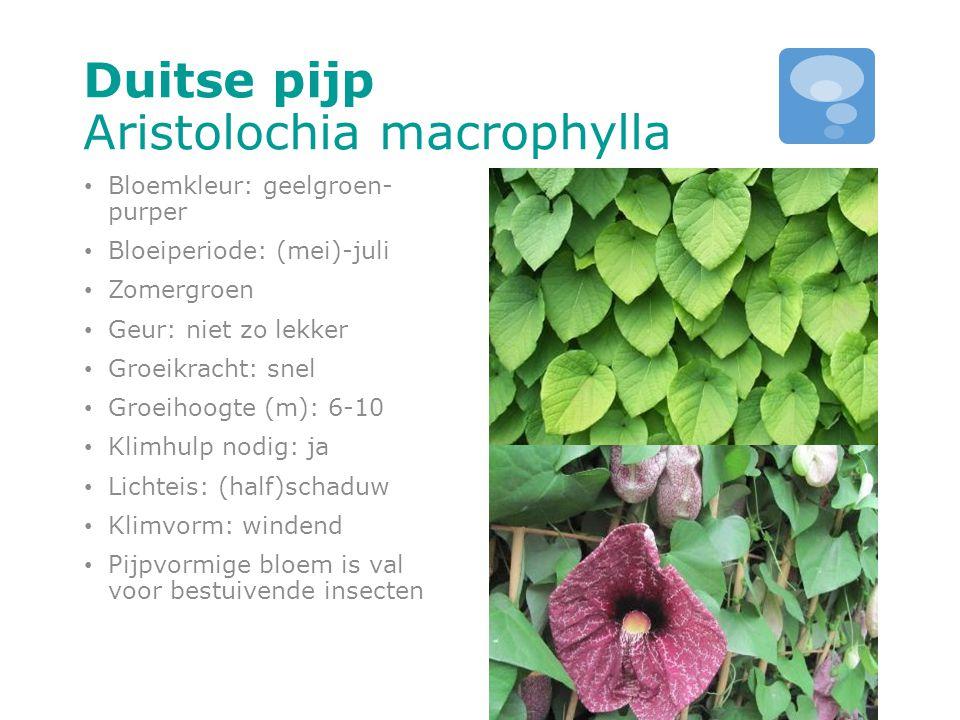 Duitse pijp Aristolochia macrophylla Bloemkleur: geelgroen- purper Bloeiperiode: (mei)-juli Zomergroen Geur: niet zo lekker Groeikracht: snel Groeihoo