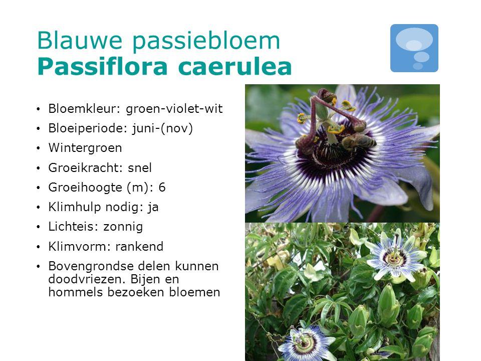Blauwe passiebloem Passiflora caerulea Bloemkleur: groen-violet-wit Bloeiperiode: juni-(nov) Wintergroen Groeikracht: snel Groeihoogte (m): 6 Klimhulp