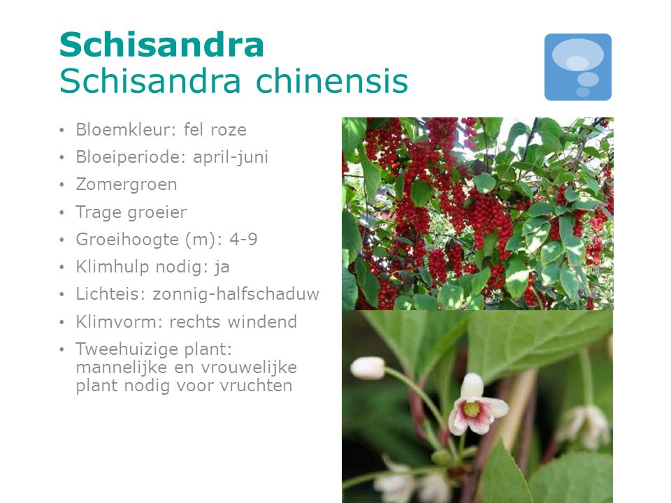 Schisandra Schisandra chinensis Bloemkleur: fel roze Bloeiperiode: april-juni Zomergroen Trage groeier Groeihoogte (m): 4-9 Klimhulp nodig: ja Lichtei