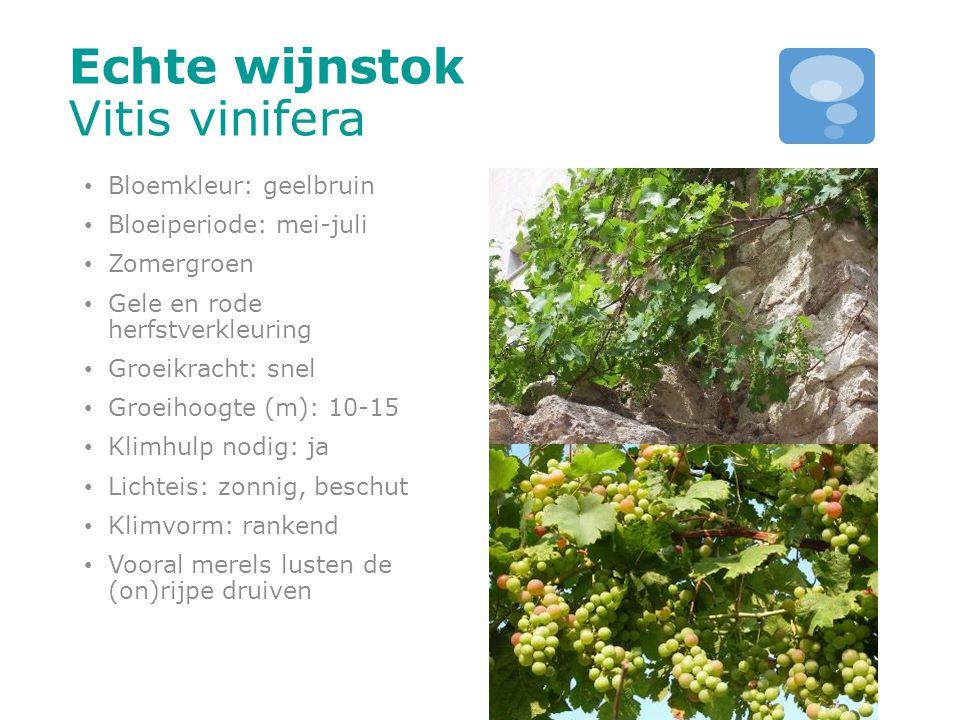 Echte wijnstok Vitis vinifera Bloemkleur: geelbruin Bloeiperiode: mei-juli Zomergroen Gele en rode herfstverkleuring Groeikracht: snel Groeihoogte (m)