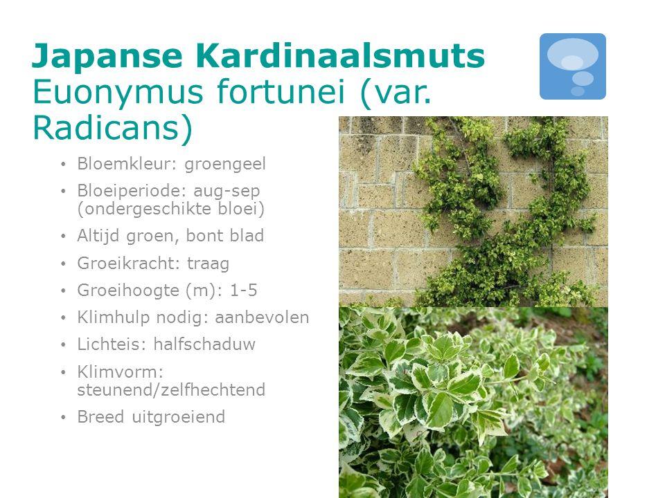 Japanse Kardinaalsmuts Euonymus fortunei (var. Radicans) Bloemkleur: groengeel Bloeiperiode: aug-sep (ondergeschikte bloei) Altijd groen, bont blad Gr