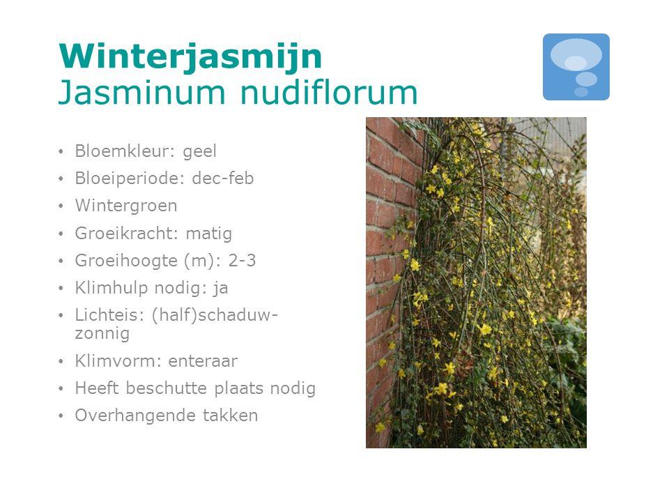 Winterjasmijn Jasminum nudiflorum Bloemkleur: geel Bloeiperiode: dec-feb Wintergroen Groeikracht: matig Groeihoogte (m): 2-3 Klimhulp nodig: ja Lichte