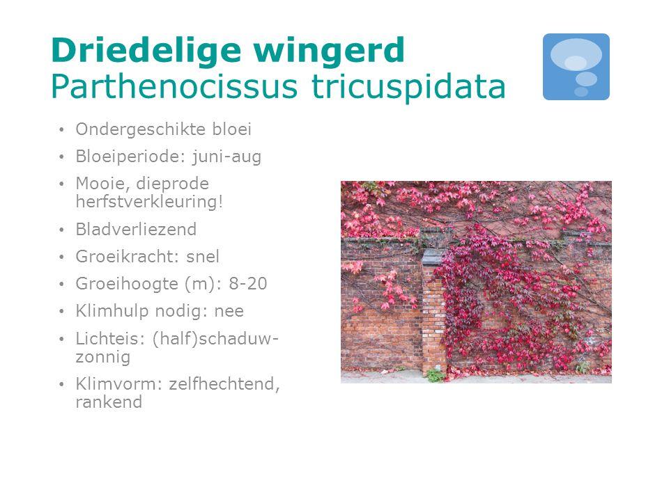 Driedelige wingerd Parthenocissus tricuspidata Ondergeschikte bloei Bloeiperiode: juni-aug Mooie, dieprode herfstverkleuring! Bladverliezend Groeikrac