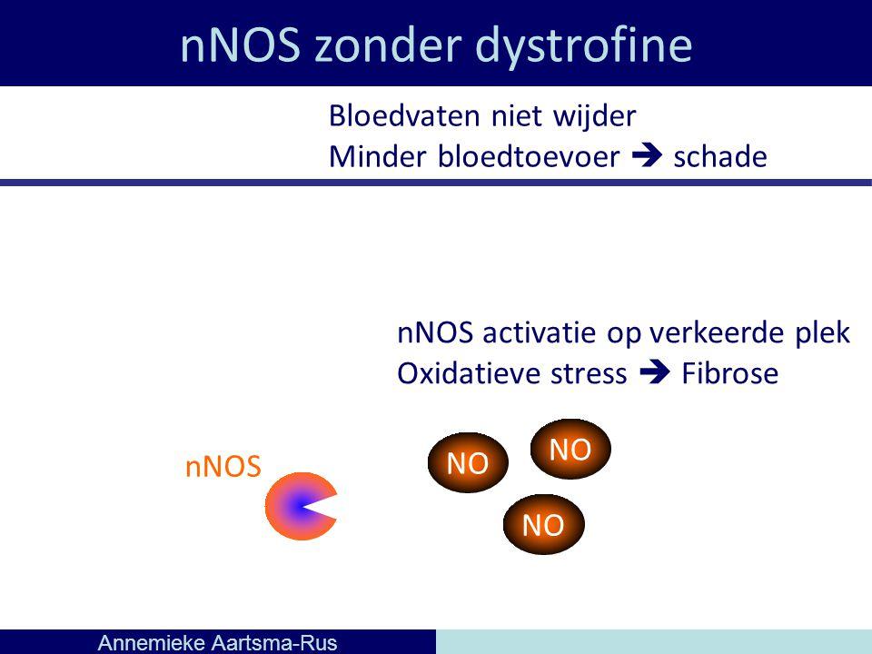nNOS zonder dystrofine Annemieke Aartsma-Rus nNOS NO Bloedvaten niet wijder Minder bloedtoevoer  schade NO nNOS activatie op verkeerde plek Oxidatieve stress  Fibrose