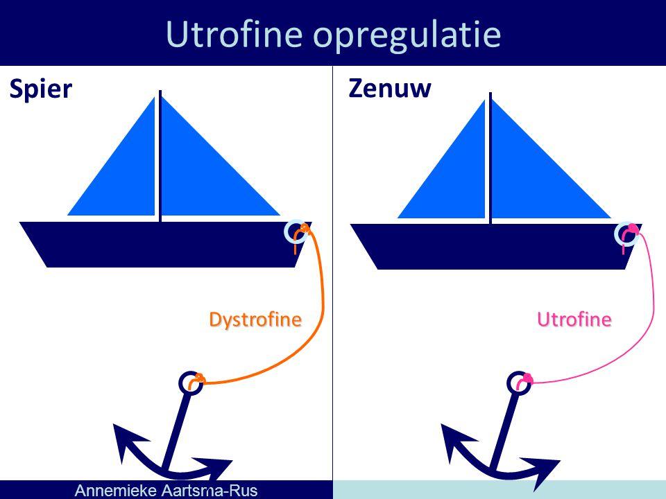 Utrofine opregulatie Annemieke Aartsma-Rus DystrofineUtrofine Spier Zenuw