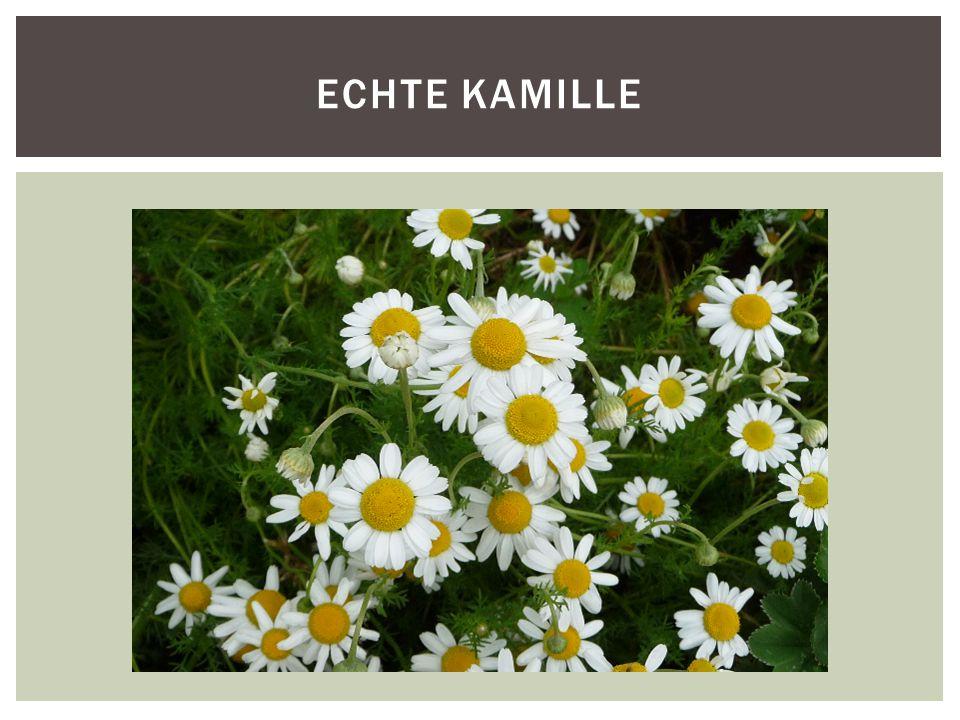 ECHTE KAMILLE
