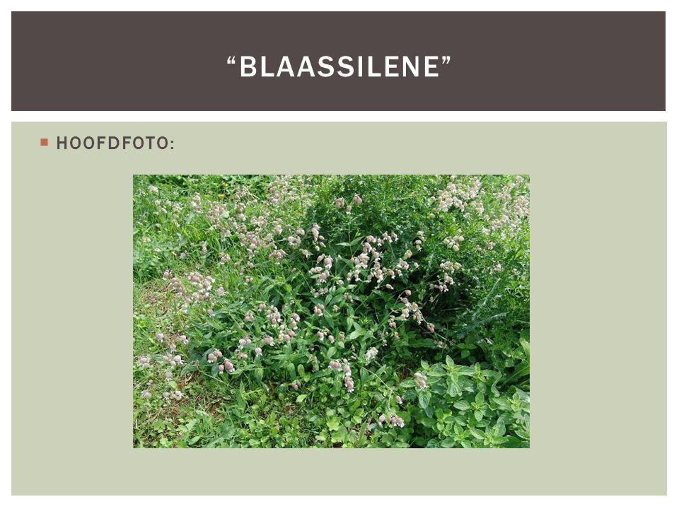 " HOOFDFOTO: ""BLAASSILENE"""