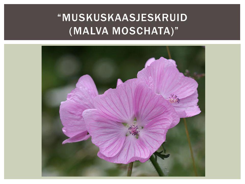 """""""MUSKUSKAASJESKRUID (MALVA MOSCHATA)"""""""