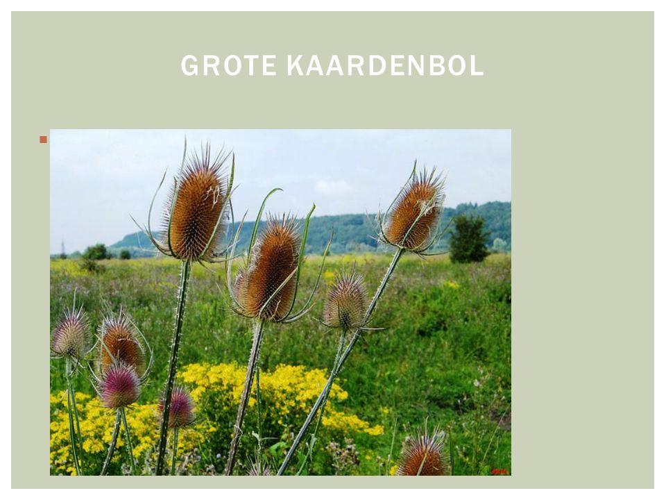  HOOFDFOTO GROTE KAARDENBOL