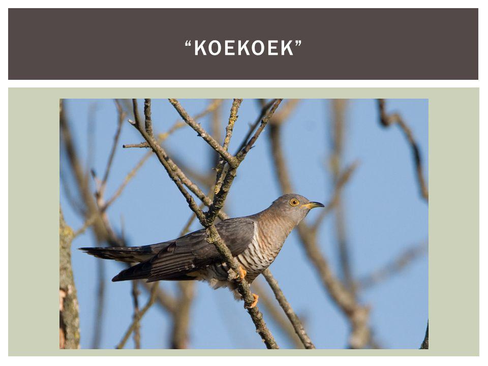 """""""KOEKOEK"""""""