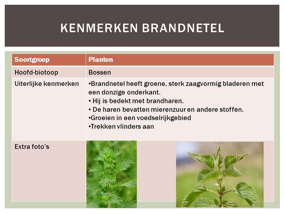 SoortgroepPlanten Hoofd-biotoopBossen Uiterlijke kenmerken Brandnetel heeft groene, sterk zaagvormig bladeren met een donzige onderkant. Hij is bedekt