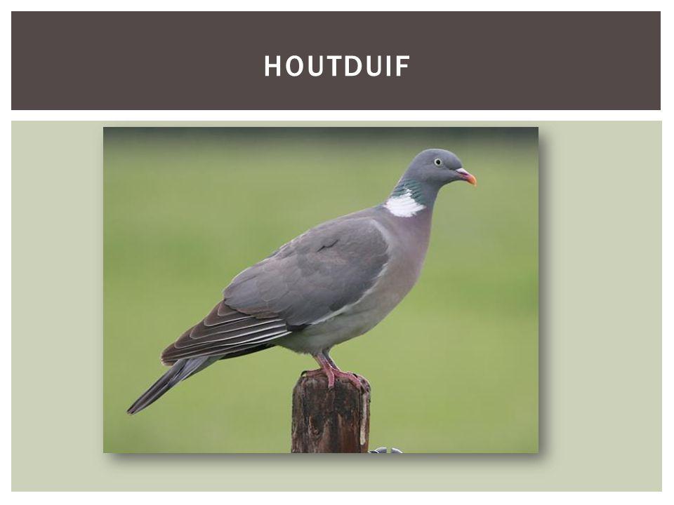 HOUTDUIF