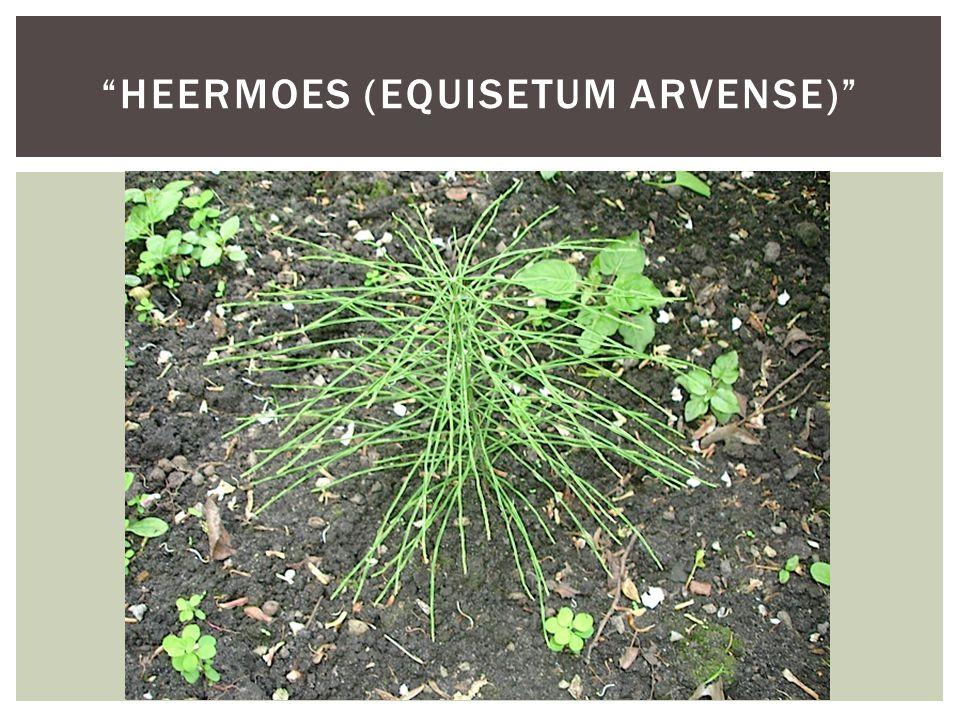 """HEERMOES (EQUISETUM ARVENSE)"""