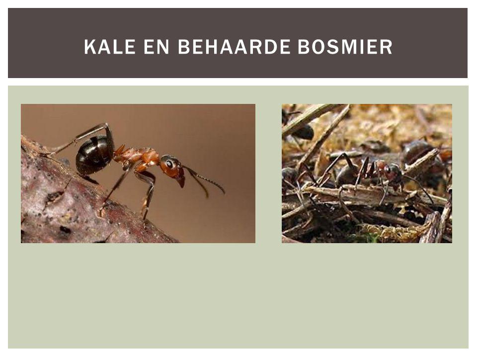 Soortgroepgeleedpotigen Hoofd-biotoopdennen- en loofbossen Uiterlijke kenmerken De kale bosmier bouwt net als de behaarde bosmier een koepelnest aan de rand van dennen- en loofbossen.