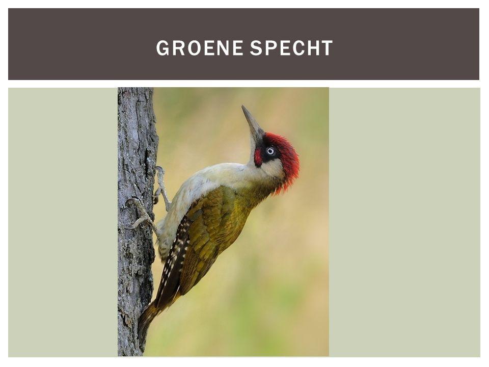 SoortgroepGeleedpotige Hoofd-biotoopTuinen, gebieden met bomen afgewisseld met open stukken Uiterlijke kenmerkenOlijf groen boven (rug), licht grijs/groen onder (buik) Zwart in het gezicht.
