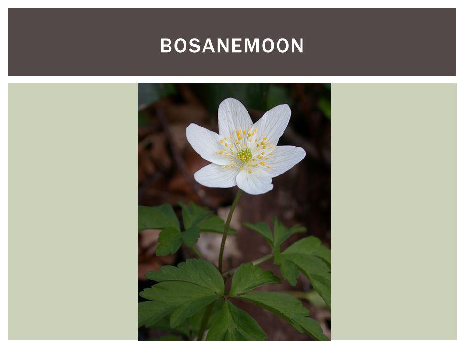 Soortgroep Hoofd-biotoopBos, graslanden en slootkanten Uiterlijke kenmerkenBloeit van maart tot mei tweeslachtig 5-7 witte tot roze/paarse, bloemdekbladen Onder de bloem zitten 3 handvormig bladeren Grof bochtig getande bladrand Plant zich voort met wortelstokken maar vormt ook zaden die verspreid worden door mieren http://vimeo.com/68 493127?width=960& height=540 KENMERKEN BOSANEMOON