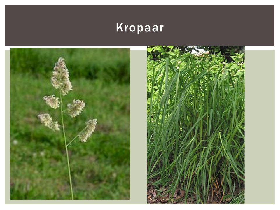 Kropaar