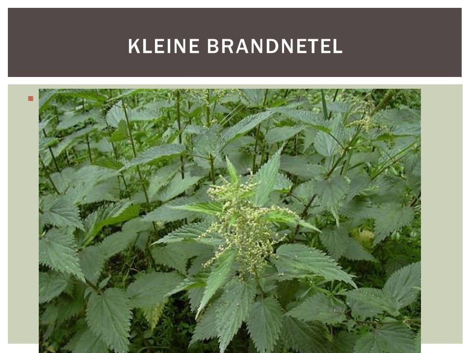 SoortgroepPlanten Hoofd-biotoopBermen, dijken, ruigten, grasland Uiterlijke kenmerkenWord 30 tot 90 cm De stengels zijn ruw door stekelhaartjes.