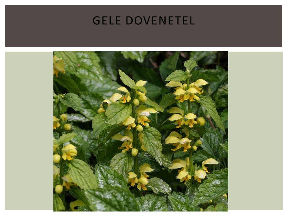 GELE DOVENETEL