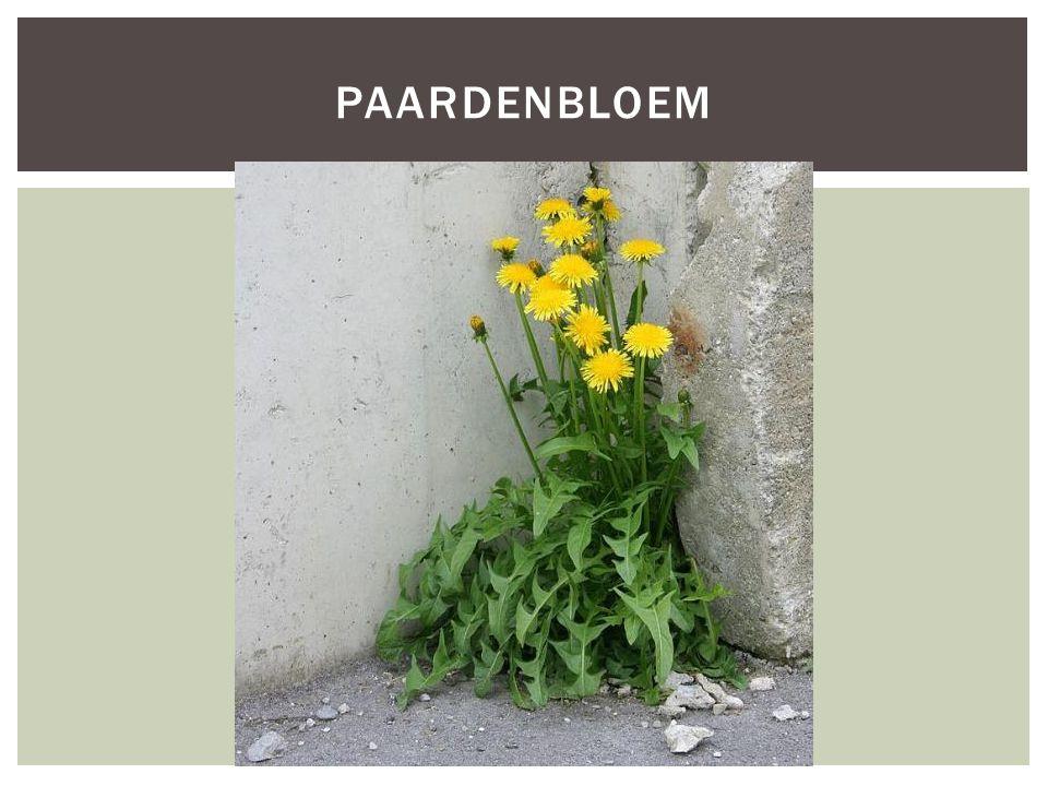 PAARDENBLOEM