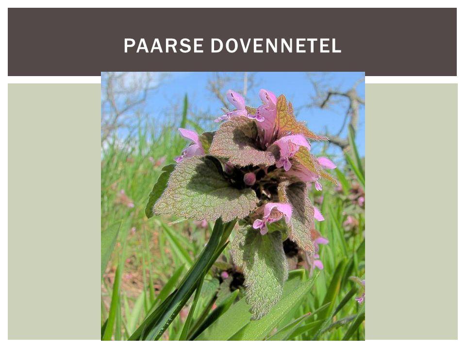 PAARSE DOVENNETEL