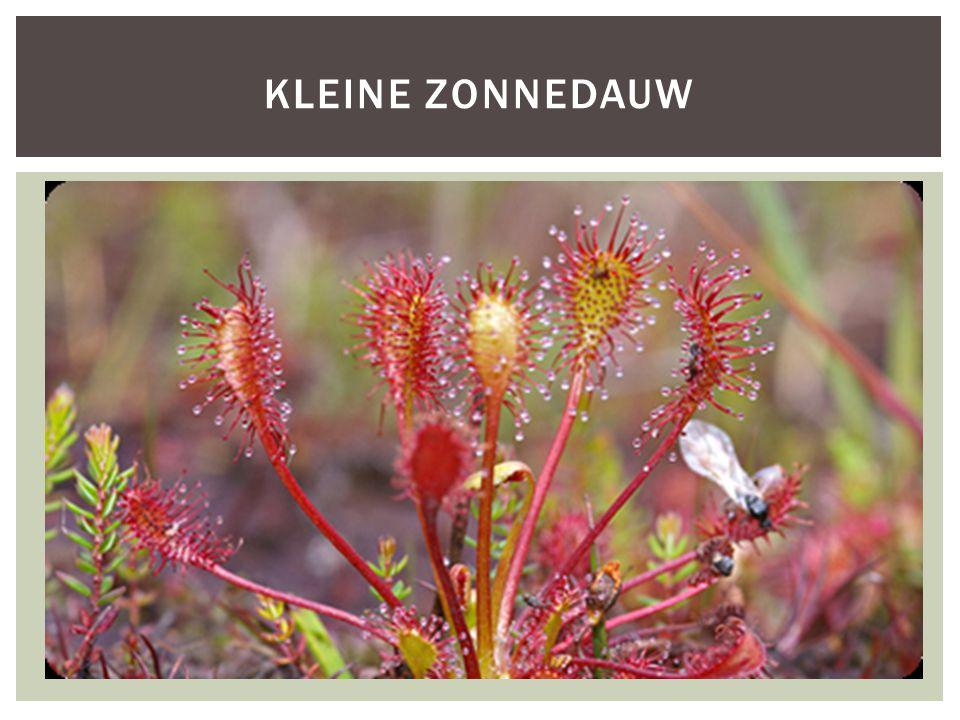 KLEINE ZONNEDAUW