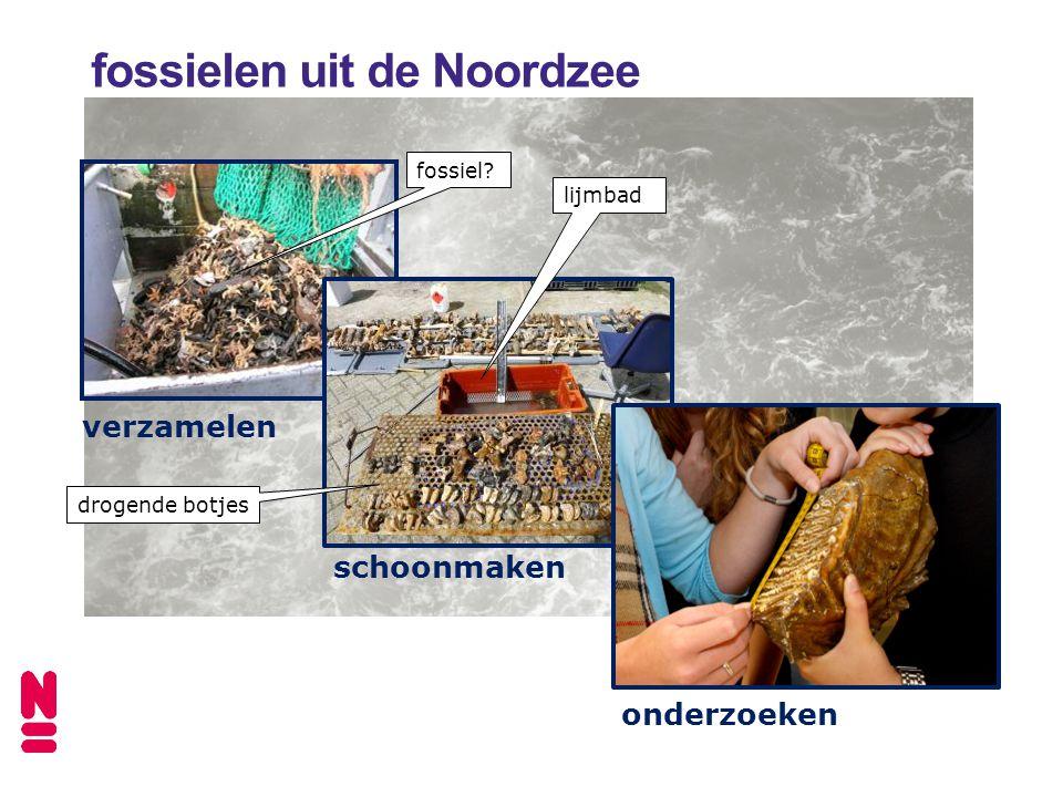 verzamelen fossielen uit de Noordzee fossiel schoonmaken lijmbad drogende botjes onderzoeken