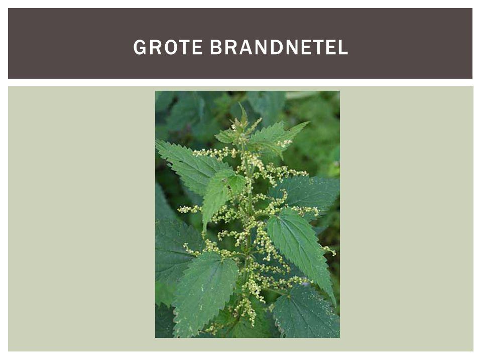 GROTE BRANDNETEL