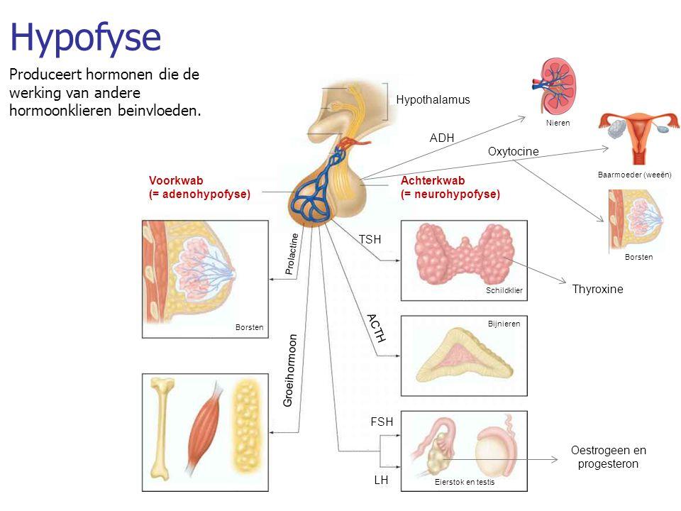 Hypofyse Produceert hormonen die de werking van andere hormoonklieren beinvloeden. Hypothalamus LH FSH TSH Eierstok en testis Bijnieren Schildklier Bo