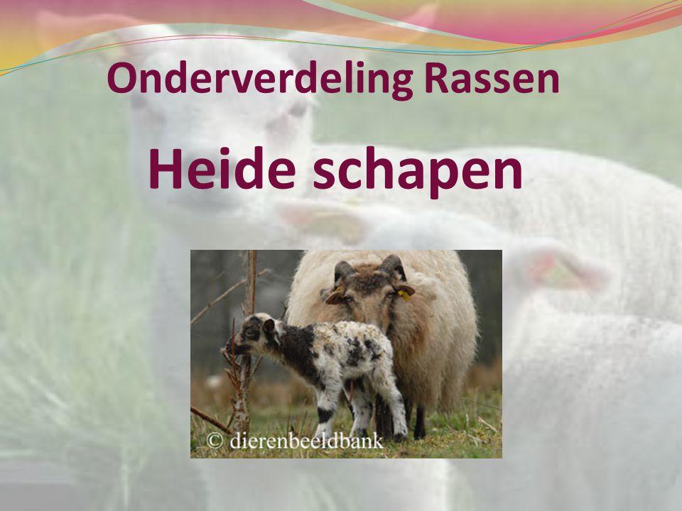 Onderverdeling Rassen Heide schapen