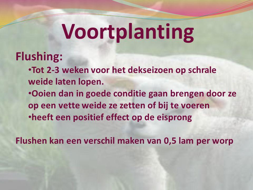 Voortplanting Flushing: Tot 2-3 weken voor het dekseizoen op schrale weide laten lopen. Ooien dan in goede conditie gaan brengen door ze op een vette