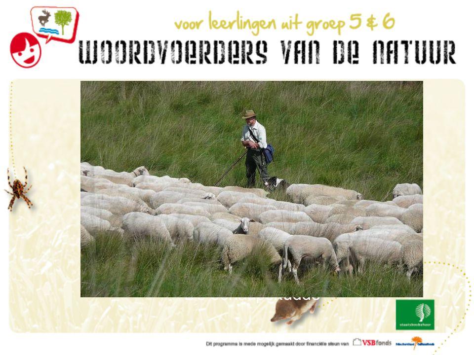 De schaapskudde De schaapherder