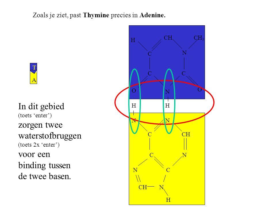 Zoals je ziet, past Thymine precies in Adenine. A T N C N CH N C C N N H HH N O CC O C N CH 3 H In dit gebied (toets 'enter') zorgen twee waterstofbru