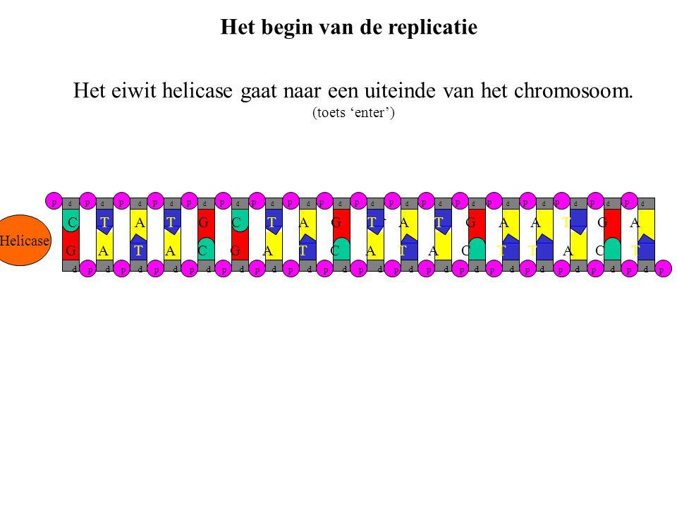 Helicase Het eiwit helicase gaat naar een uiteinde van het chromosoom. (toets 'enter') G A T A C G A T C A T A C T T A C T C T A T G C T A G T A T G A